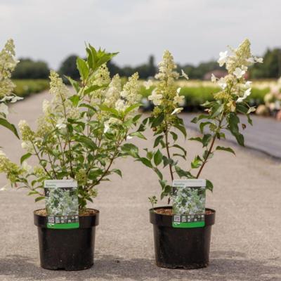 hydrangea-paniculata-kyushu