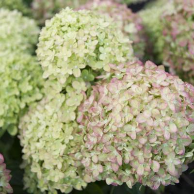 hydrangea-paniculata-little-lime