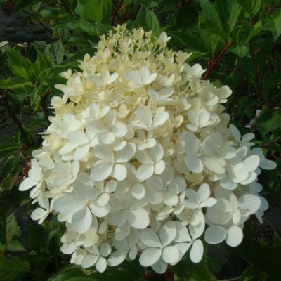 hydrangea-paniculata-phantom
