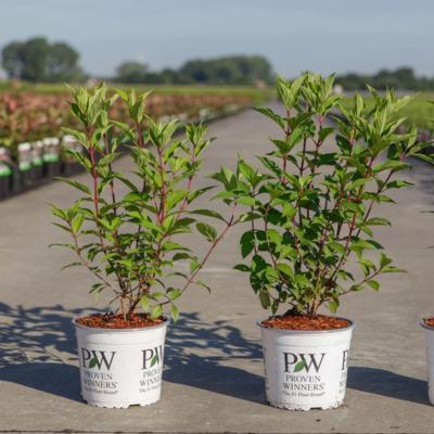 hydrangea-paniculata-pinkachu