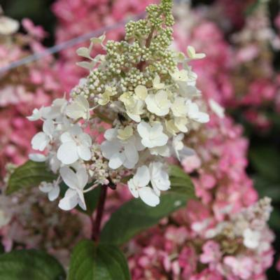 hydrangea-paniculata-pinky-winky