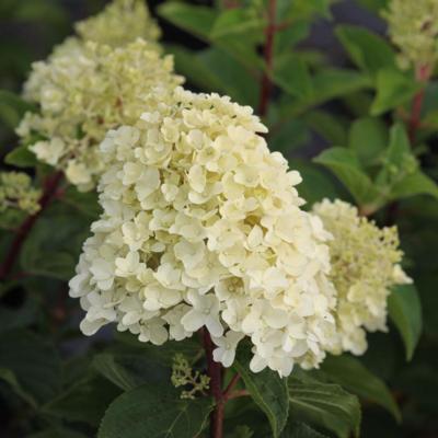 hydrangea-paniculata-silver-dollar