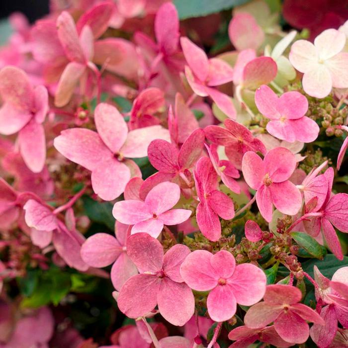 Hydrangea paniculata 'Switch Ophelia' plant