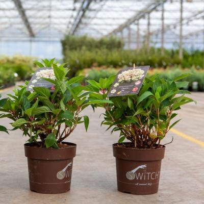 hydrangea-paniculata-switch-ophelia