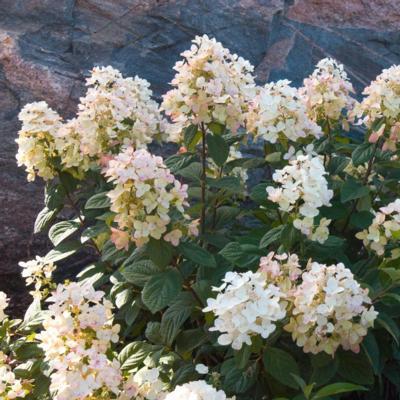 hydrangea-paniculata-tickled-pink
