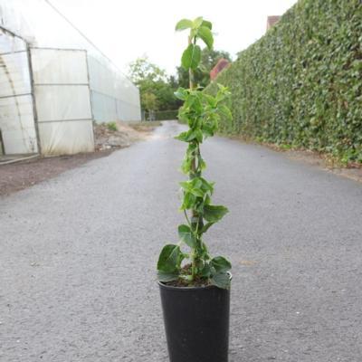hydrangea-petiolaris
