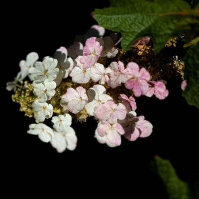 hydrangea-quercifolia-gatsby-moon