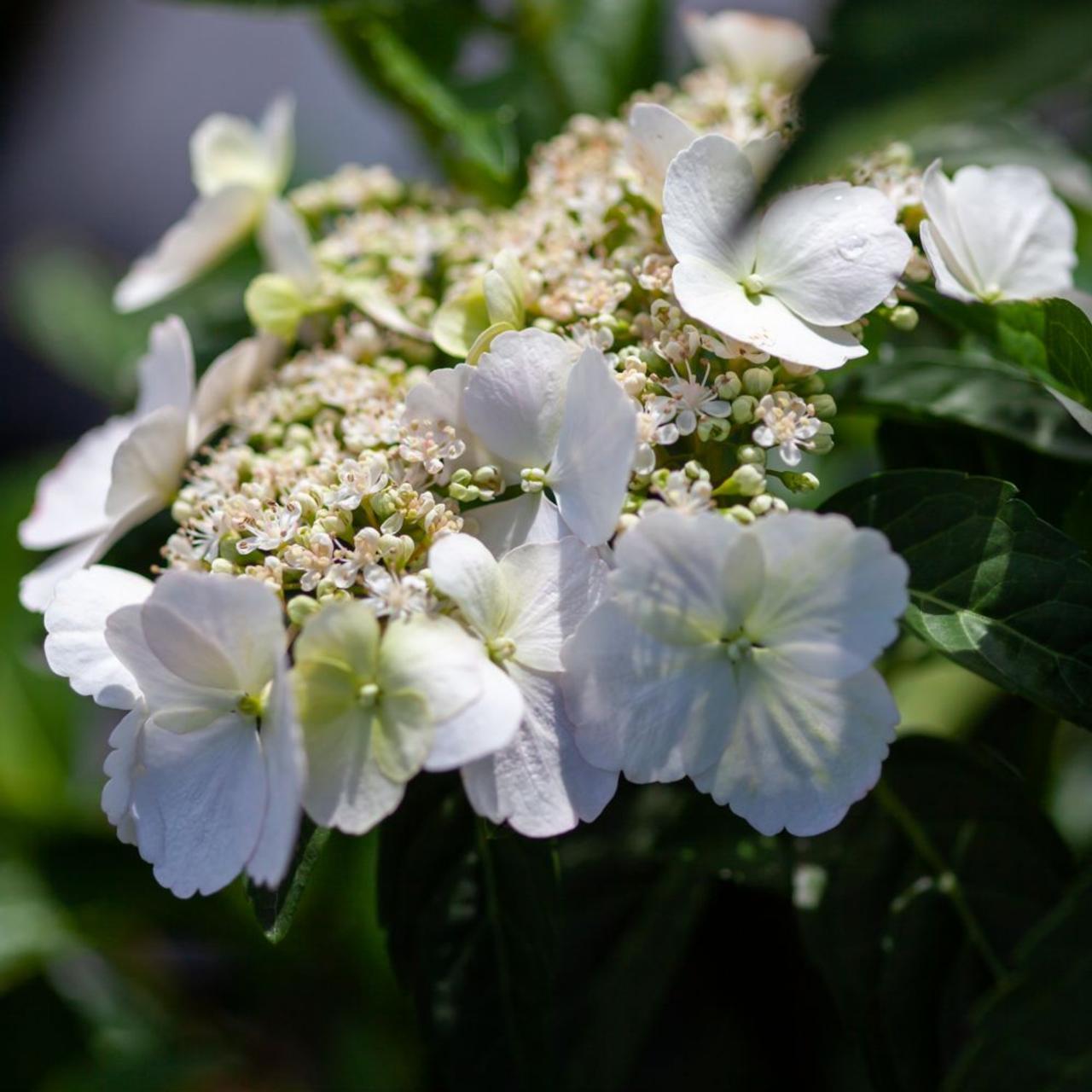 Hydrangea 'Runaway Bride' plant