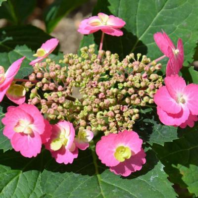 hydrangea-serrata-flair-flavours-cotton-candy