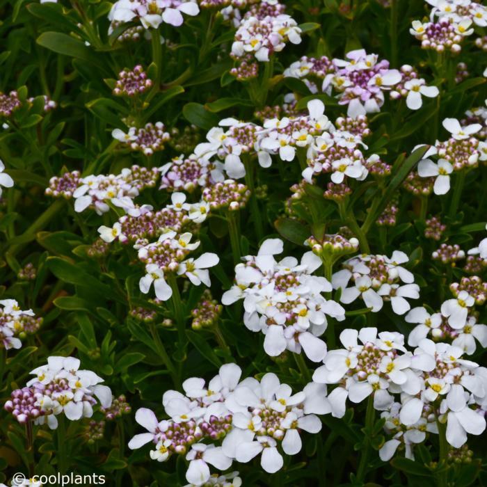 Iberis sempervirens 'Pink Ice' plant