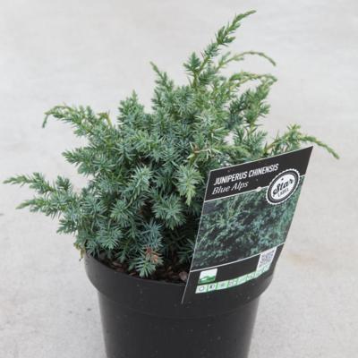juniperus-chinensis-blue-alps