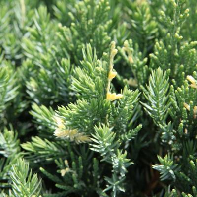 juniperus-chinensis-expansa-variegata