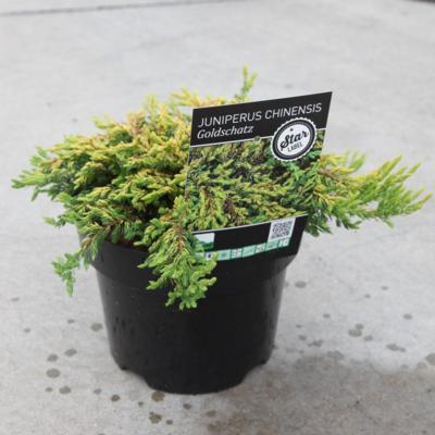 juniperus-chinensis-goldschatz