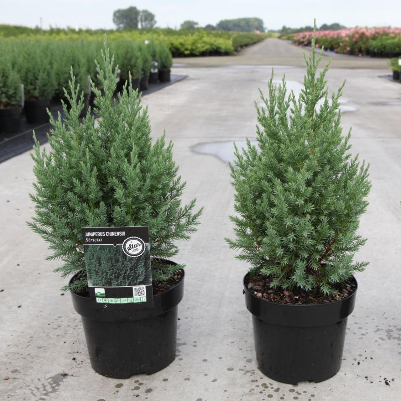 Juniperus chinensis 'Stricta' plant