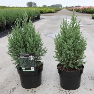 juniperus-chinensis-stricta