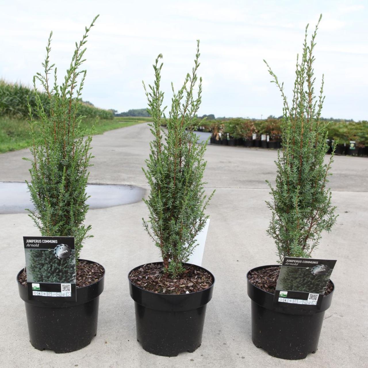 Juniperus comm. 'Arnold' plant