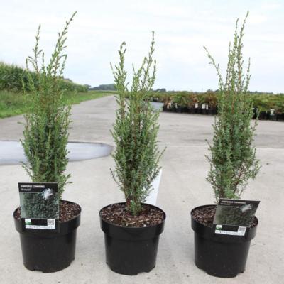 juniperus-comm-arnold