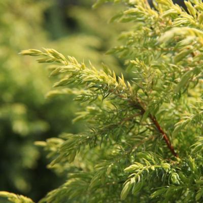 juniperus-comm-gold-cone