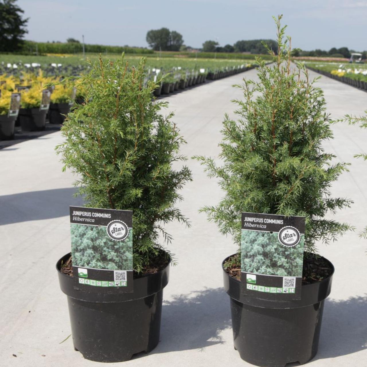 Juniperus communis 'Hibernica' (5333)