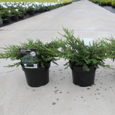 juniperus-communis-repanda