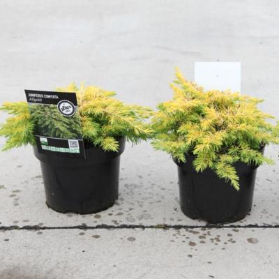 juniperus-conferta-all-gold