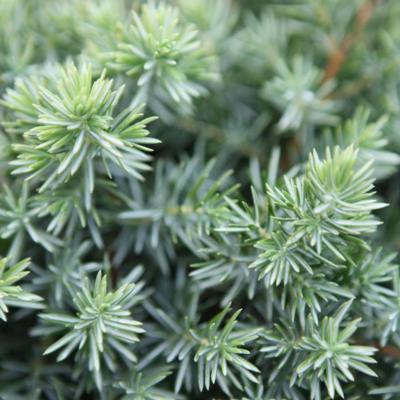 juniperus-conferta-blue-pacific