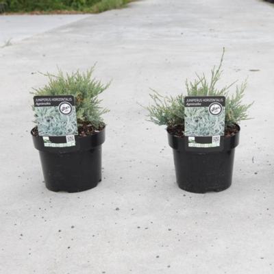 juniperus-horizontalis-agnieszka