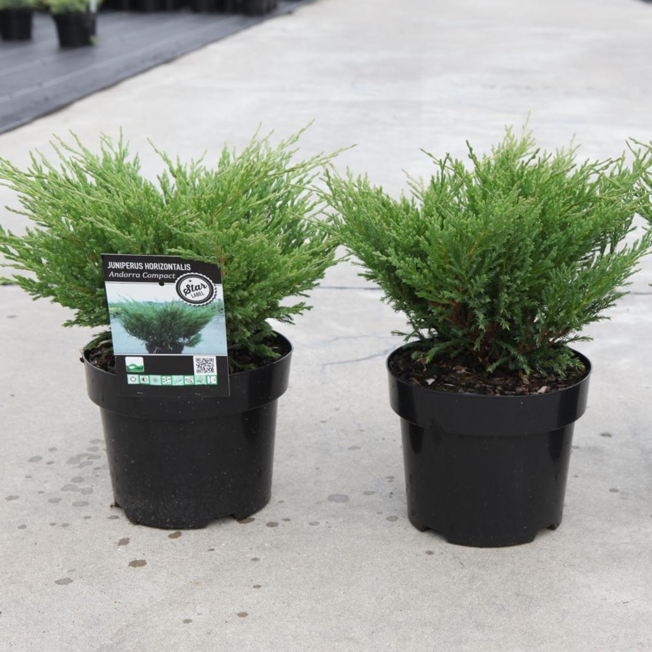 Juniperus horizontalis 'Andorra Compact' plant