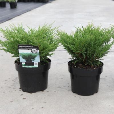 juniperus-horizontalis-andorra-compact