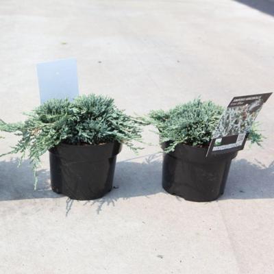 juniperus-horizontalis-icee-blue