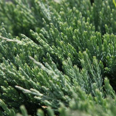 juniperus-horizontalis-jade-river