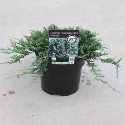 juniperus-horizontalis-wiltonii
