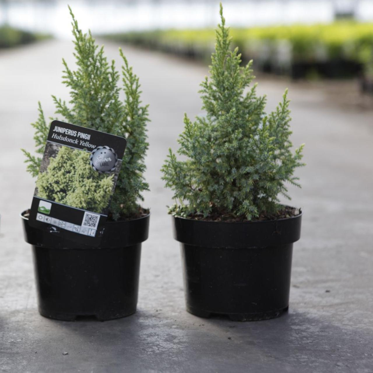 Juniperus pingii 'Hulsdonck Yellow' plant