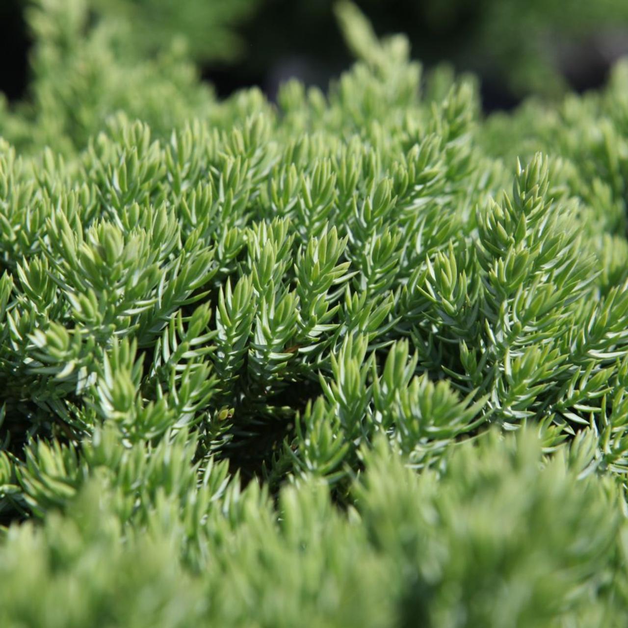 Juniperus procumbens 'Nana' plant