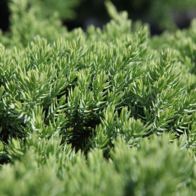 juniperus-procumbens-nana
