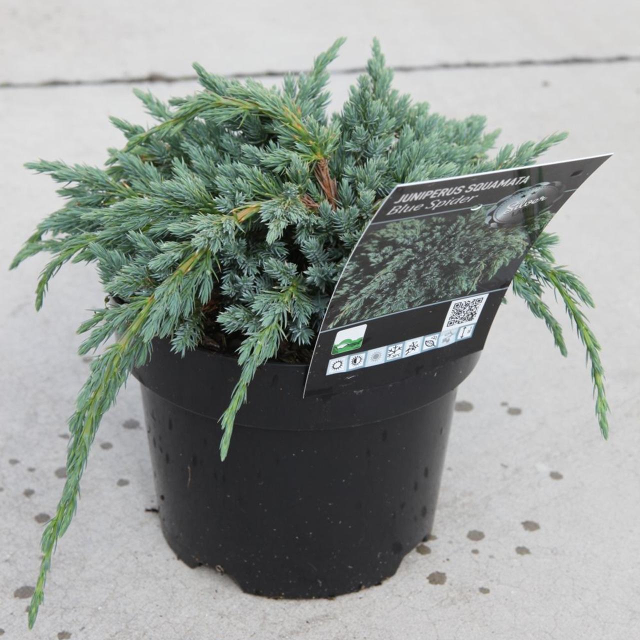 Juniperus squam. 'Blue Spider' plant