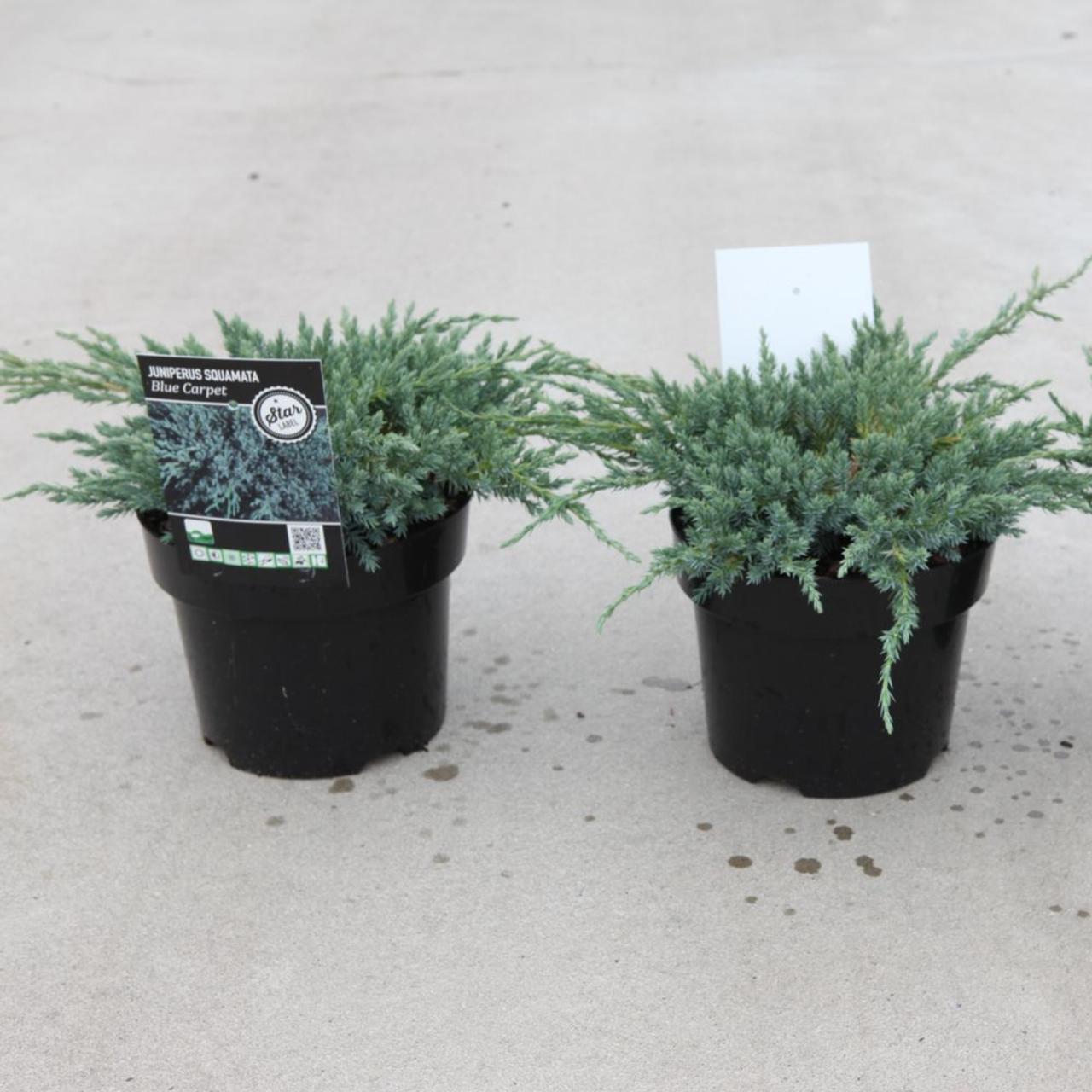 Juniperus squamata 'Blue Carpet' plant