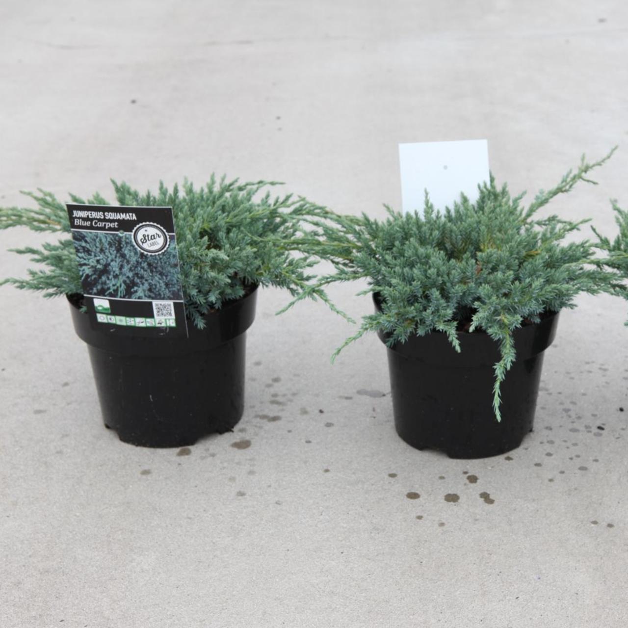 Juniperus squamata 'Blue Compact' plant