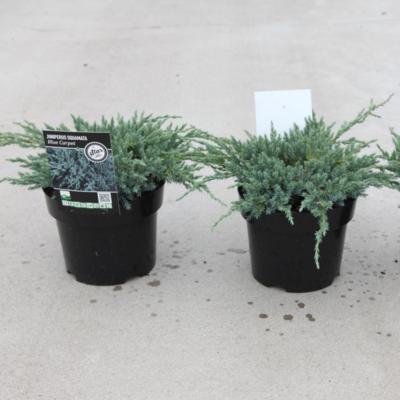 juniperus-squamata-blue-compact