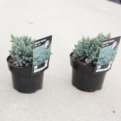 juniperus-squamata-blue-star