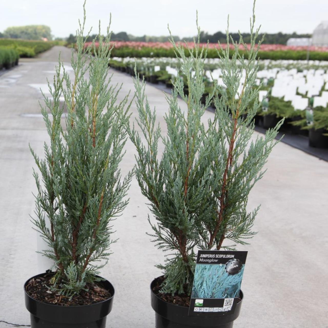 Juniperus scopulorum 'Moonglow' plant
