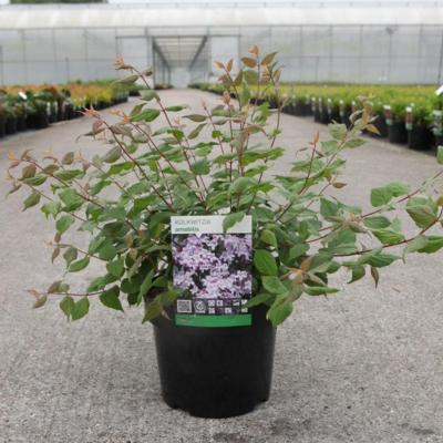 kolkwitzia-amabilis