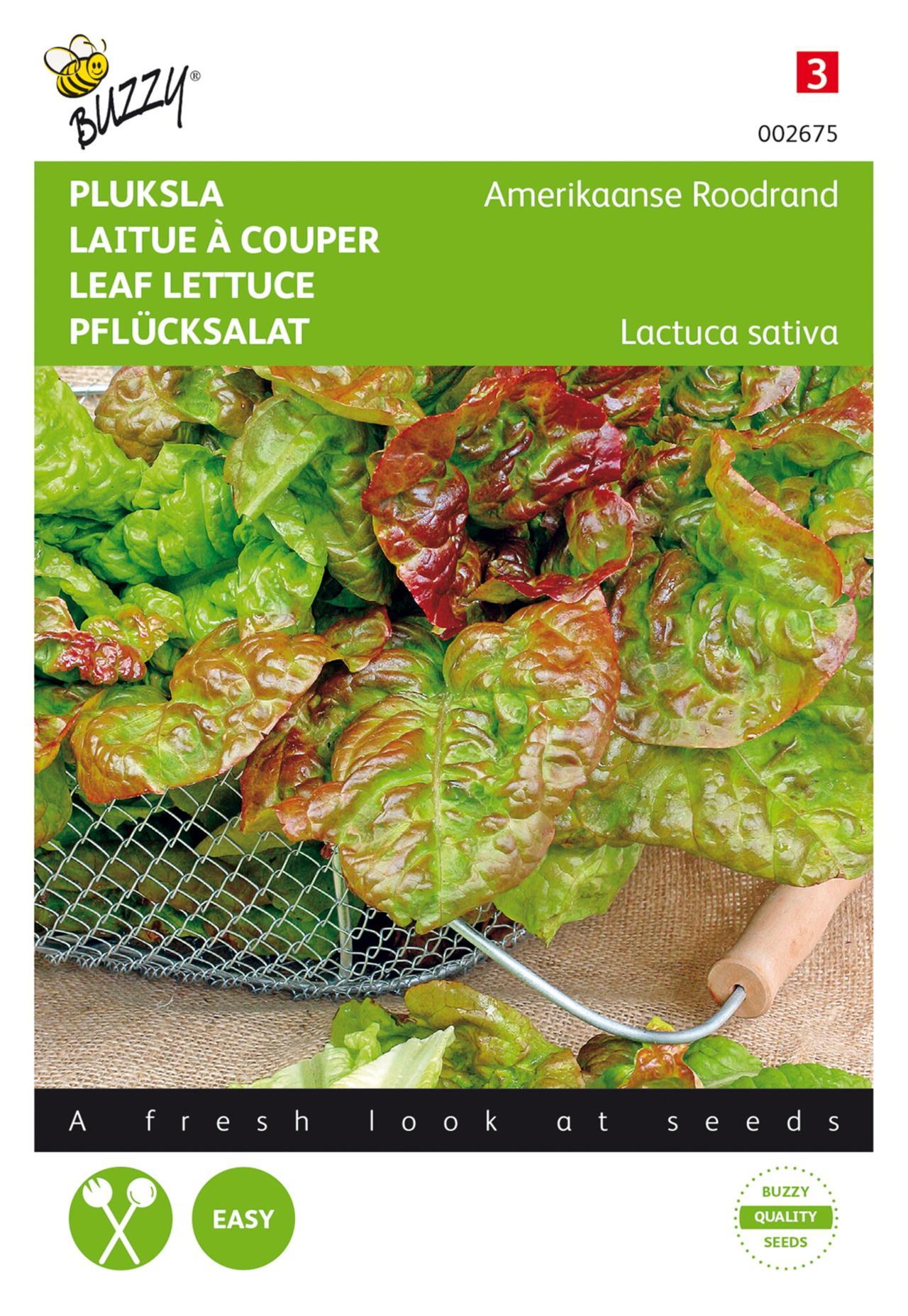Lactuca sativa 'Amerikaanse Roodrand' plant