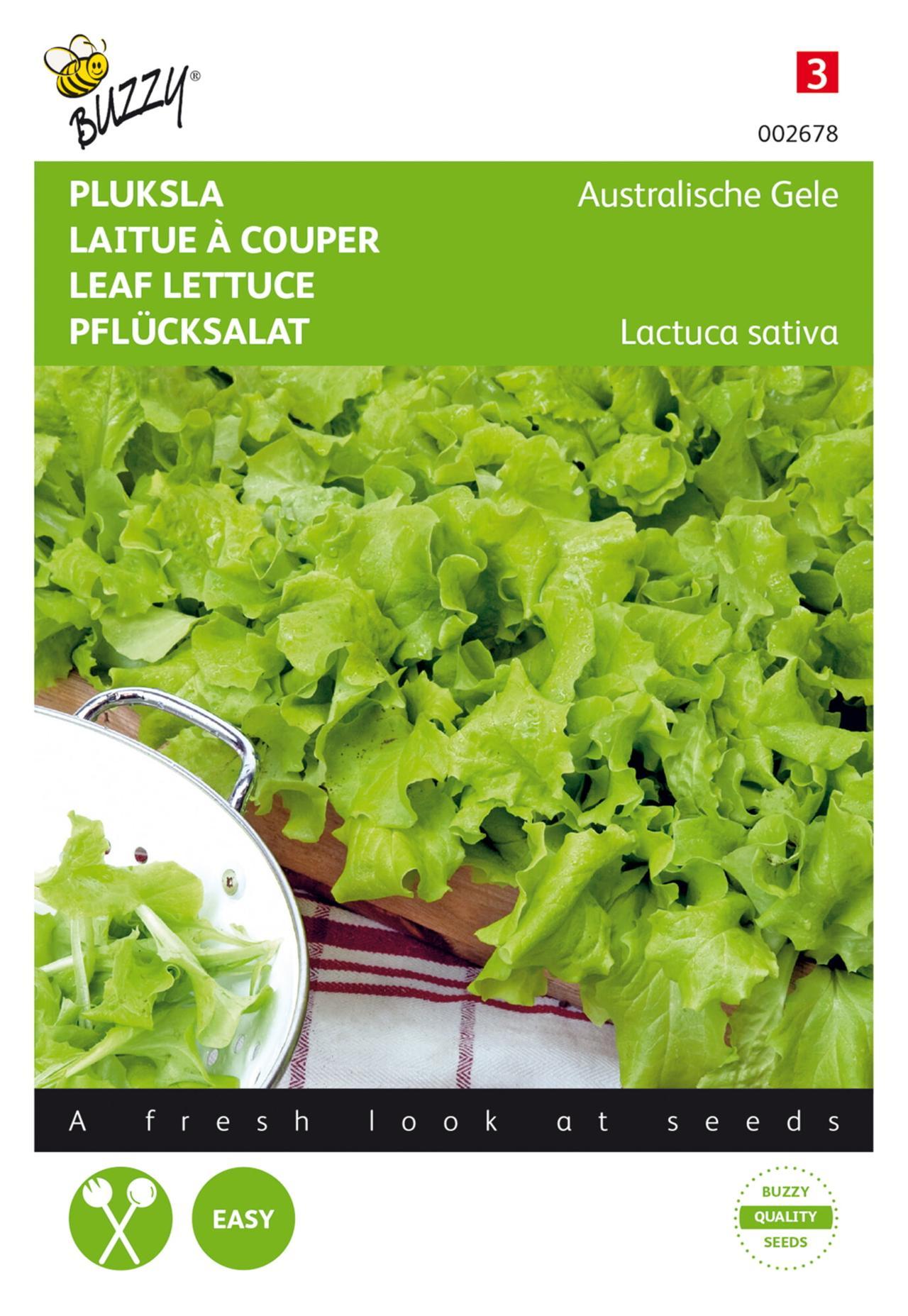 Lactuca sativa 'Australische Gele' plant