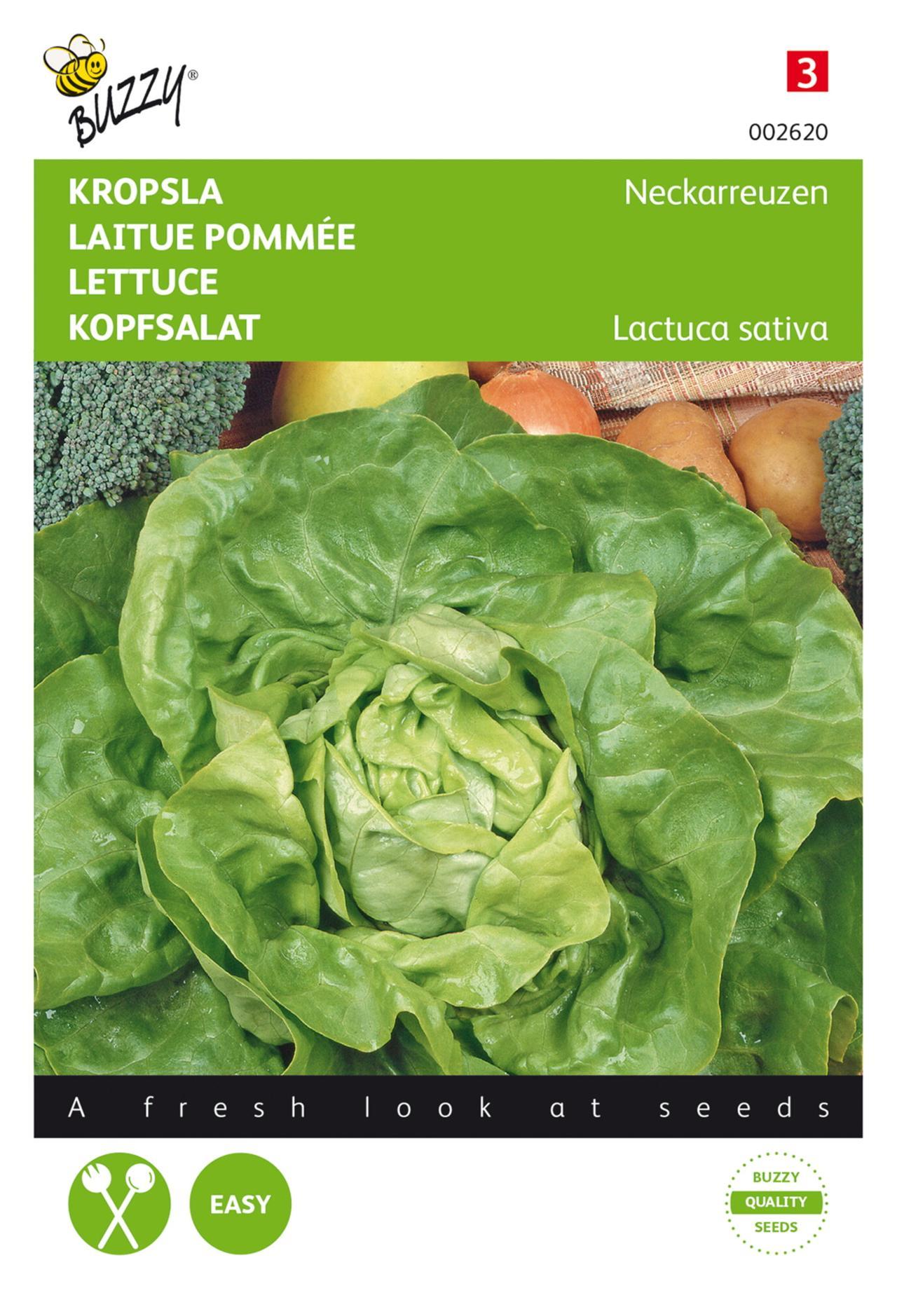 Lactuca sativa 'Neckarreuzen' plant