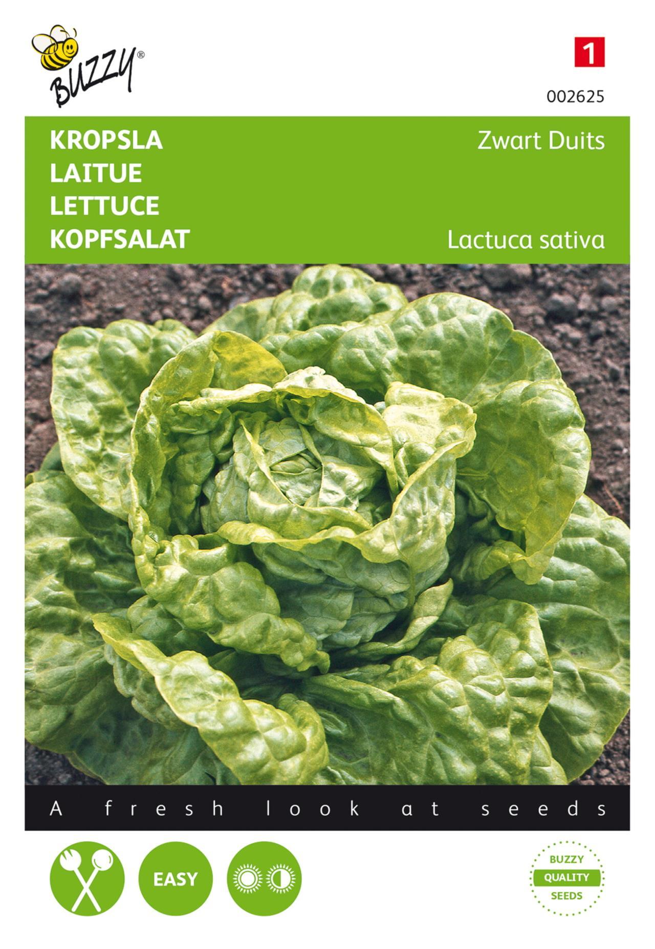 Lactuca sativa 'Zwart Duits' plant