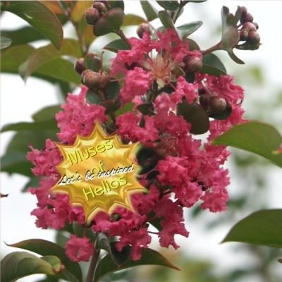 lagerstroemia-beverly-rouge