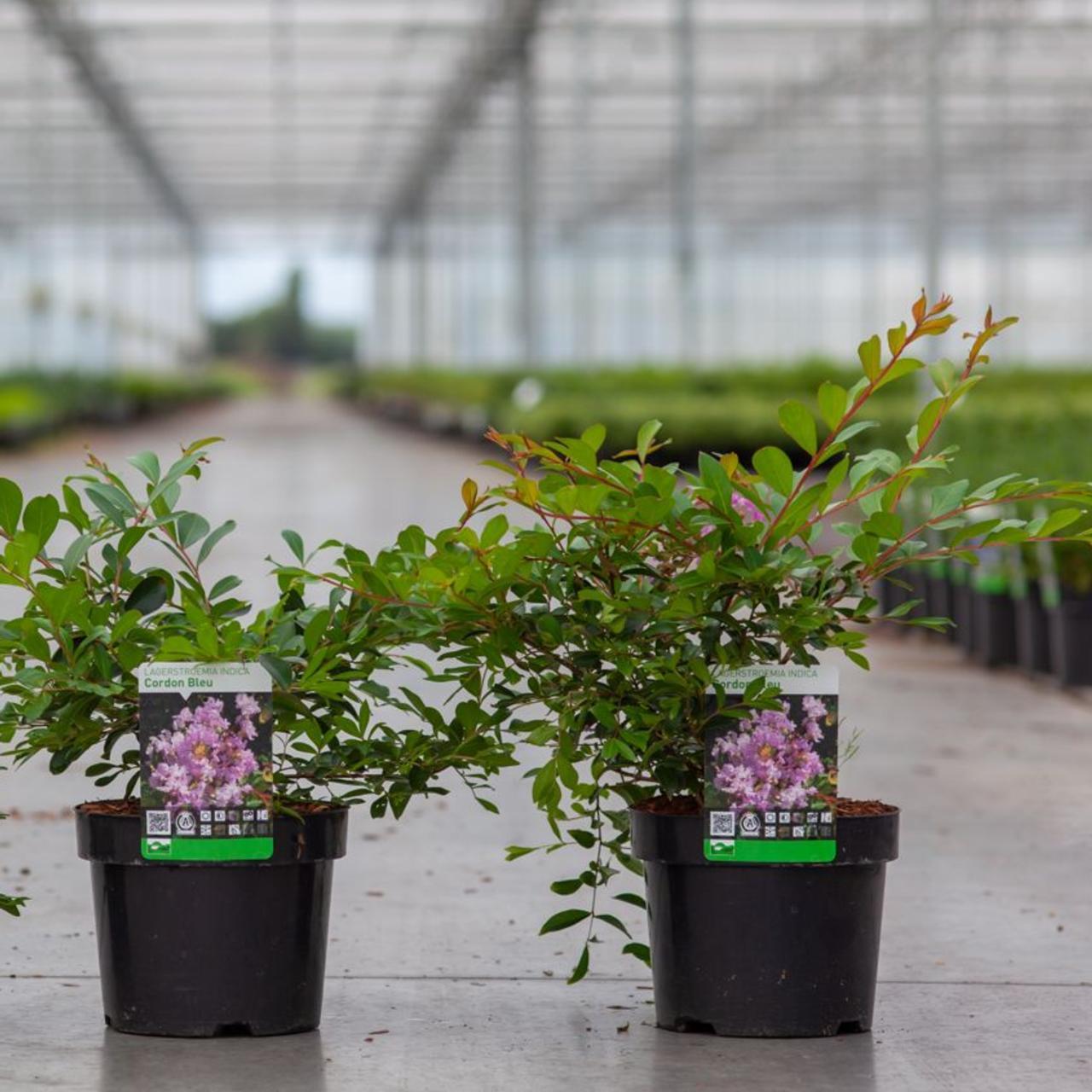 Lagerstroemia indica 'Cordon Bleu' plant