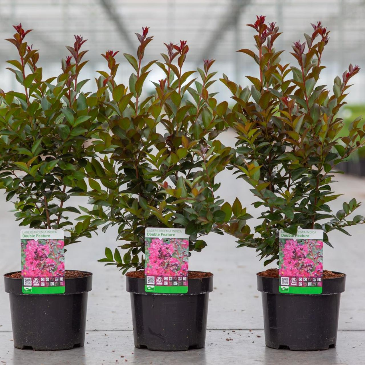 Lagerstroemia indica 'Double Feature' plant
