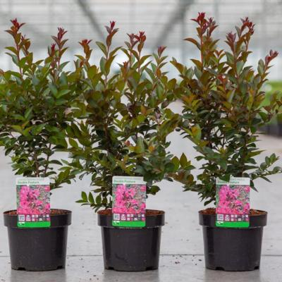 lagerstroemia-indica-double-feature